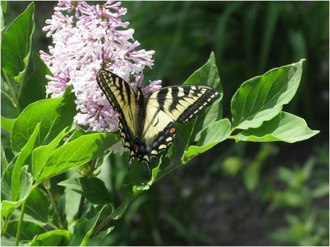 Papillon sur lilas nain