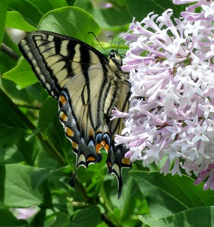 Papillon sur lilas nain001
