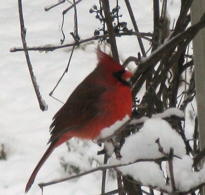 Cardinal03