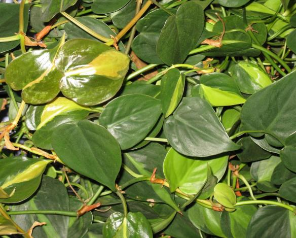 Philodendron panaché feuillage