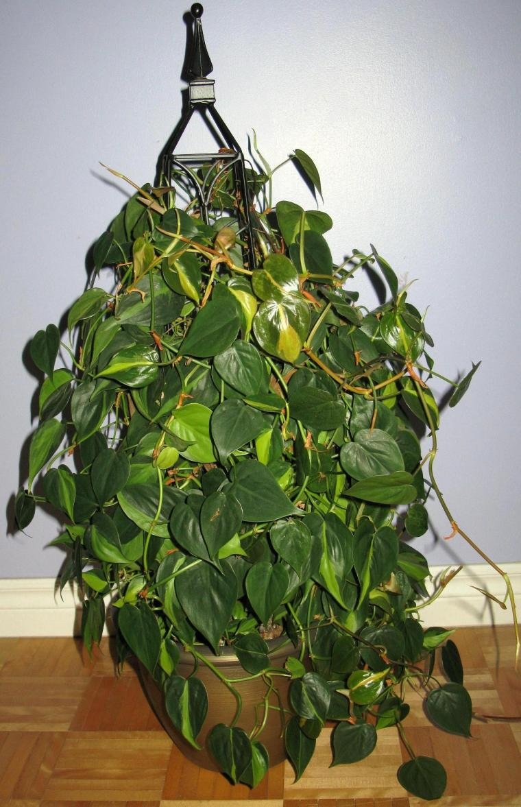 Philodendron panaché