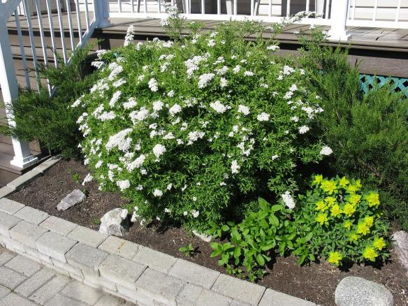 Spirée floraison blanche