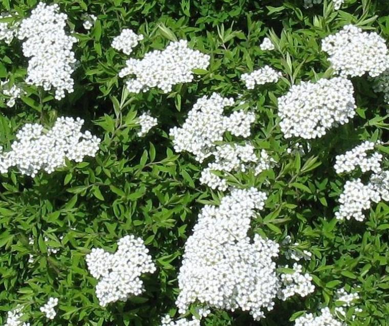 Spirée floraison blanche2