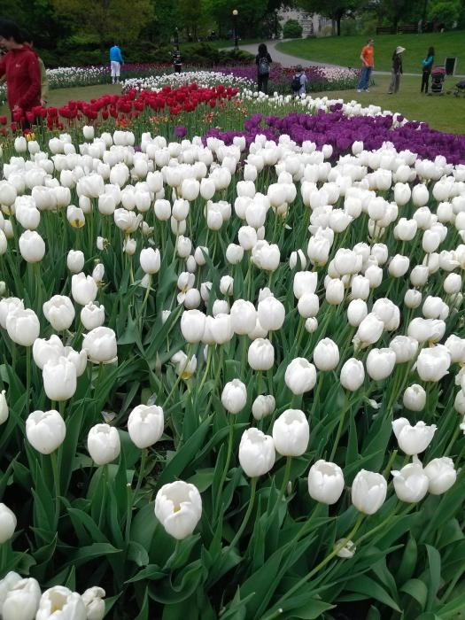 Tulipes2
