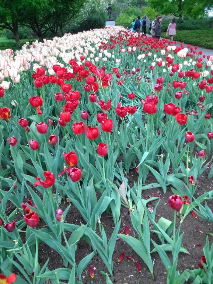 Tulipes4