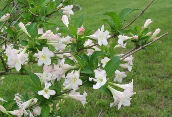 Weigela a fleurs rosées