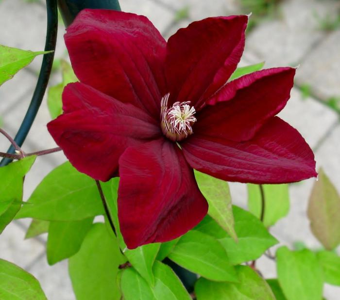 Clematite Rouge Cardinal