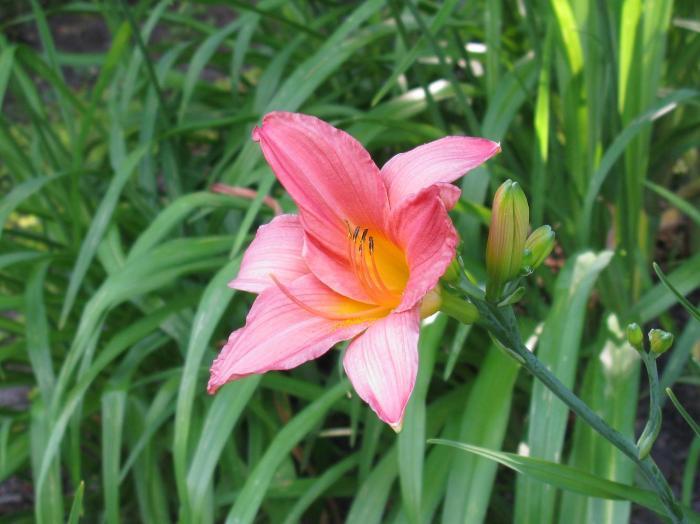 Hemerocalle Jubilee Pink