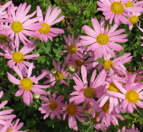 Chrysantheme automne Clara Curtis