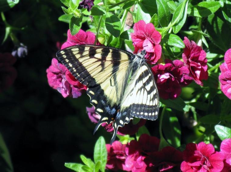 Papillon tigre du Canada
