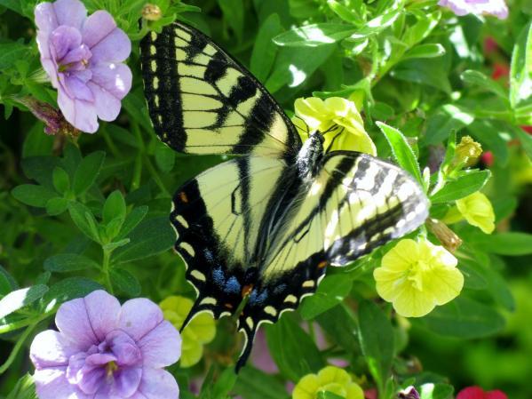Papillon tigre du Canada_2