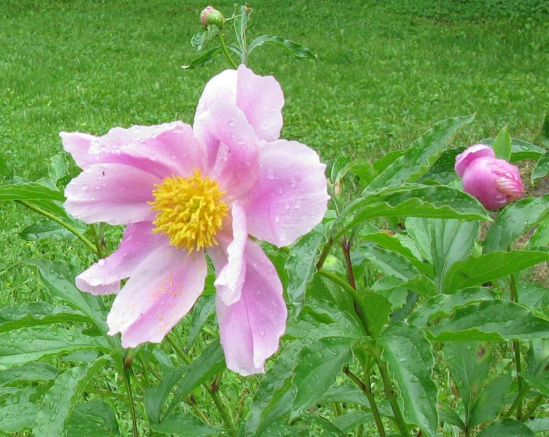 Pivoine en fleurs_2