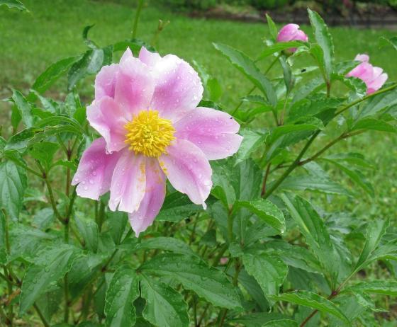 Pivoine fleurs