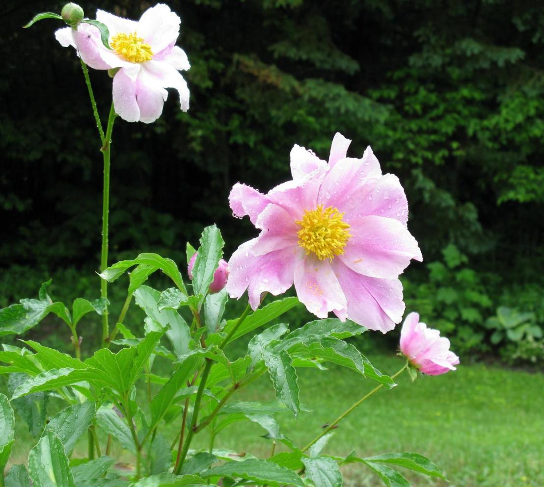 Pivoines en fleurs