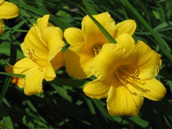 Hemerocalle Stella de Oro