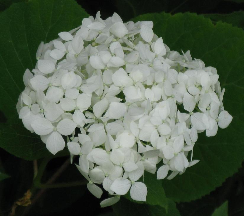 Hydrangee Annabella