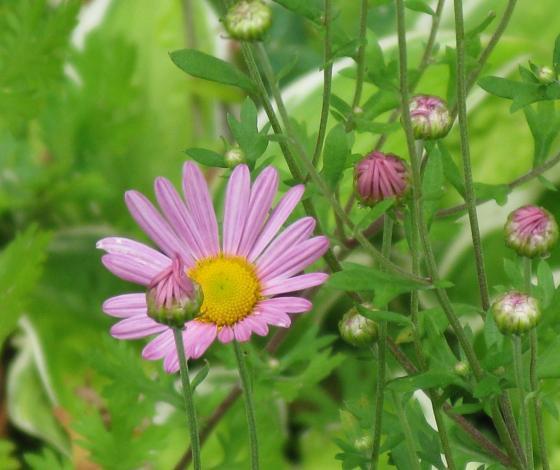 Chrysantheme Clara Curtis