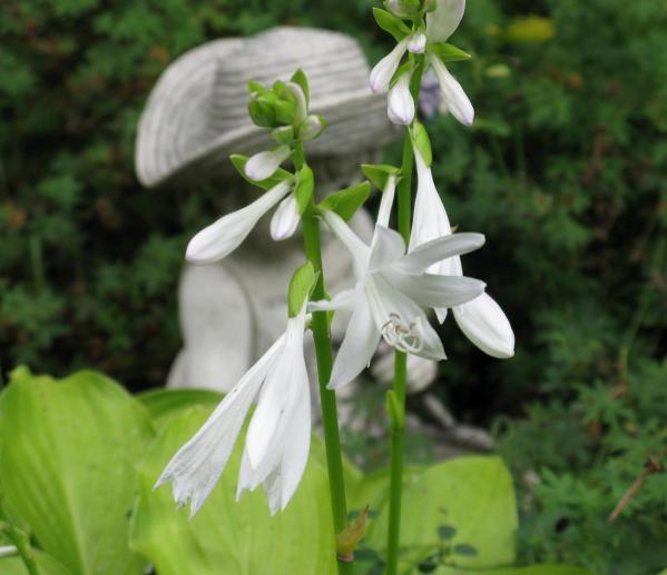 Fleurs de hosta 2014