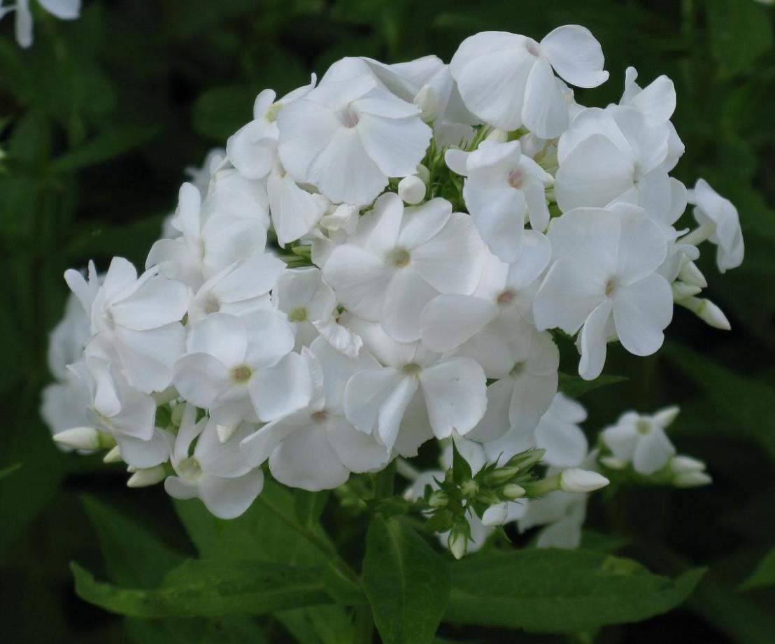 Phlox blanc 2014