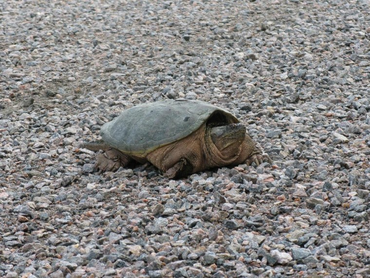 Tortue_1