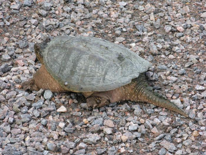 Tortue_2